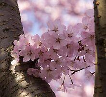 Silver Bark and Pink Blossoms by Georgia Mizuleva