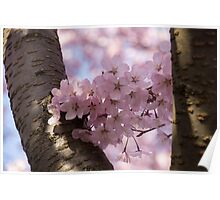 Silver Bark and Pink Blossoms Poster