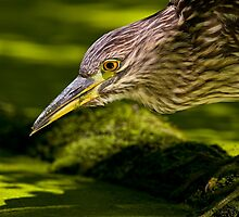Black Crowned Night Heron by Heron-Images