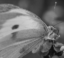 Common White Butterfly by Alex Wagner