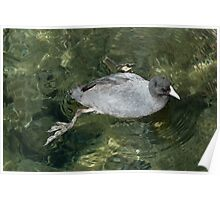 American Coot Swimming Poster