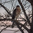 Cooper's Hawk At Sunset by Deb Fedeler