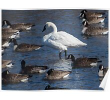 Trumpeter Swan Among the Geese Poster