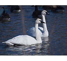 Trumpeter Swan Pair Photographic Print