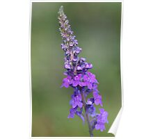 toadflax Poster