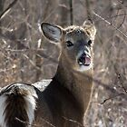 White-tailed Deer - Candid Shot by Deb Fedeler
