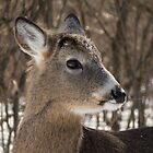 Young White-tailed Deer Buck Profile by Deb Fedeler