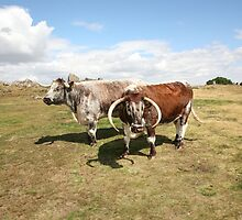 english longhorn cattle by markspics