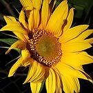 Sunflower by julie anne  grattan