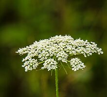 Queen Anne's Lace by Mary Carol Story