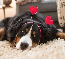 Bernese Mountain Dogs love Valentine's Day by TheJill