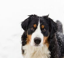 Aren't Bernese Mountain Dogs the sweetest? by TheJill