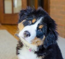 Bernese says what??? by TheJill