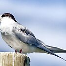 Tern Pole by Warren. A. Williams