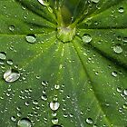 Lady's Mantle Leaf by Michael Russell