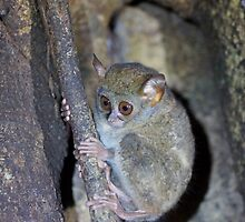 Tarsius The worlds smallest primate by cs-cookie