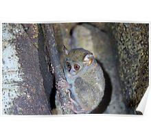 Tarsius The worlds smallest primate Poster
