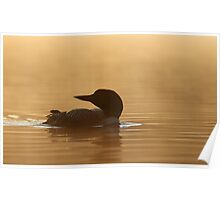 Common loon in morning light Poster