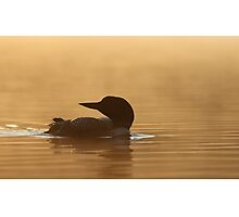 Common loon in morning light Photographic Print