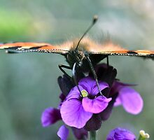 Tortoiseshell Butterfly by Alex Wagner