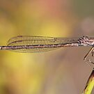 Female Siberian Damselfly by Robert Abraham