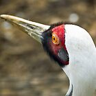 White-Naped Crane by Matthias Keysermann