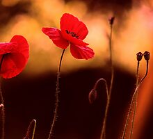 poppies (Mohnblumen) by Ralf Decker