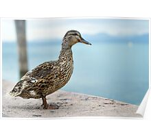 Female Mallard Duck Poster