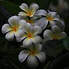February Frangipani by Keith G. Hawley