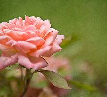Pink Rose #2 by Alex Wagner