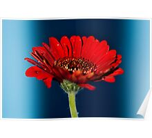 Red Gerbera Flower #2 Poster