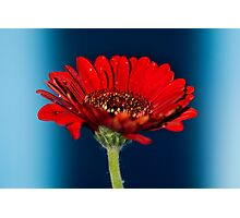 Red Gerbera Flower #2 Photographic Print
