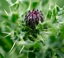 Spear Thistle by Alex Wagner
