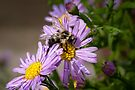 The Bee and the Aster by PhotosByHealy