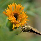 A Moth on Flower by Ikramul Fasih