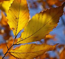 Beech Leaf by lkbphotography