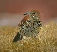 Brown Thrasher Caught in the Rain by Eileen McVey