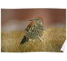 Brown Thrasher Caught in the Rain Poster