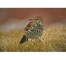 Brown Thrasher Caught in the Rain Photographic Print
