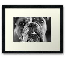 oh bulldogs, you make me smile. Framed Print