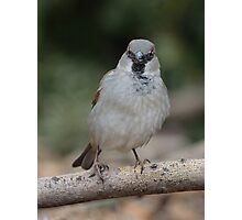 House sparrow Photographic Print