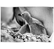 Chinstrap Penguin Chick - Antarctica Poster