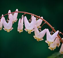 Dutchman's Breeches by stephen-brown