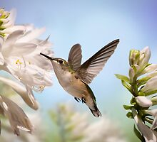Hummingbird on Lily by stephen-brown