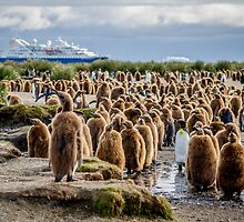 South Georgia King Penguin Colony by Kellie Netherwood