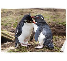 Rockhopper Penguin Couple - Falkland Islands Poster