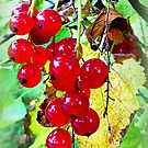 Red ripe berries by ©The Creative  Minds