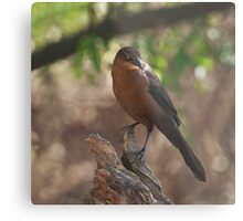 Great-tailed Grackle - Female Metal Print