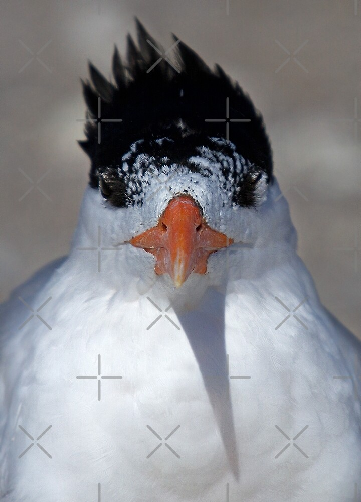 Mascara: How much is too much? Royal Tern by Jim Cumming
