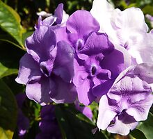 Brunfelsia Grandiflora Purple Flower Plant by artkrannie